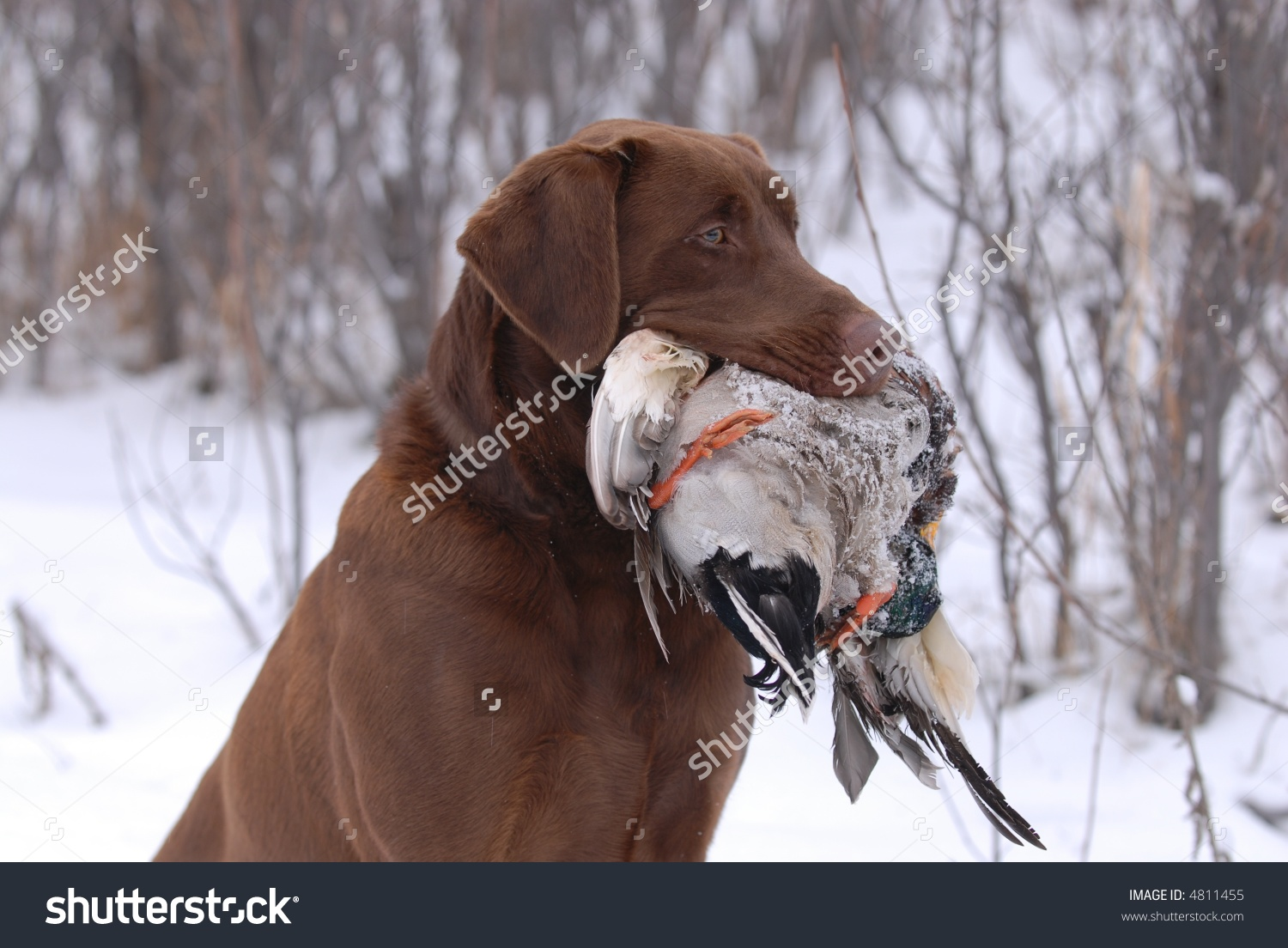 Chocolate Labrador Holding Duck Stock Photo 4811455.