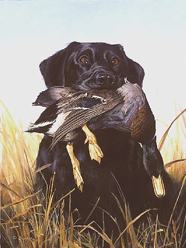 ducks unlimited labrador pictures.