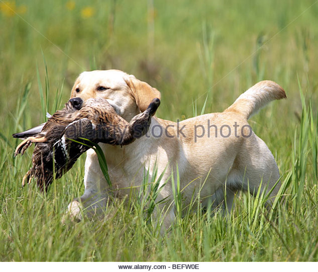 Labrador Holding Duck Stock Photos & Labrador Holding Duck Stock.