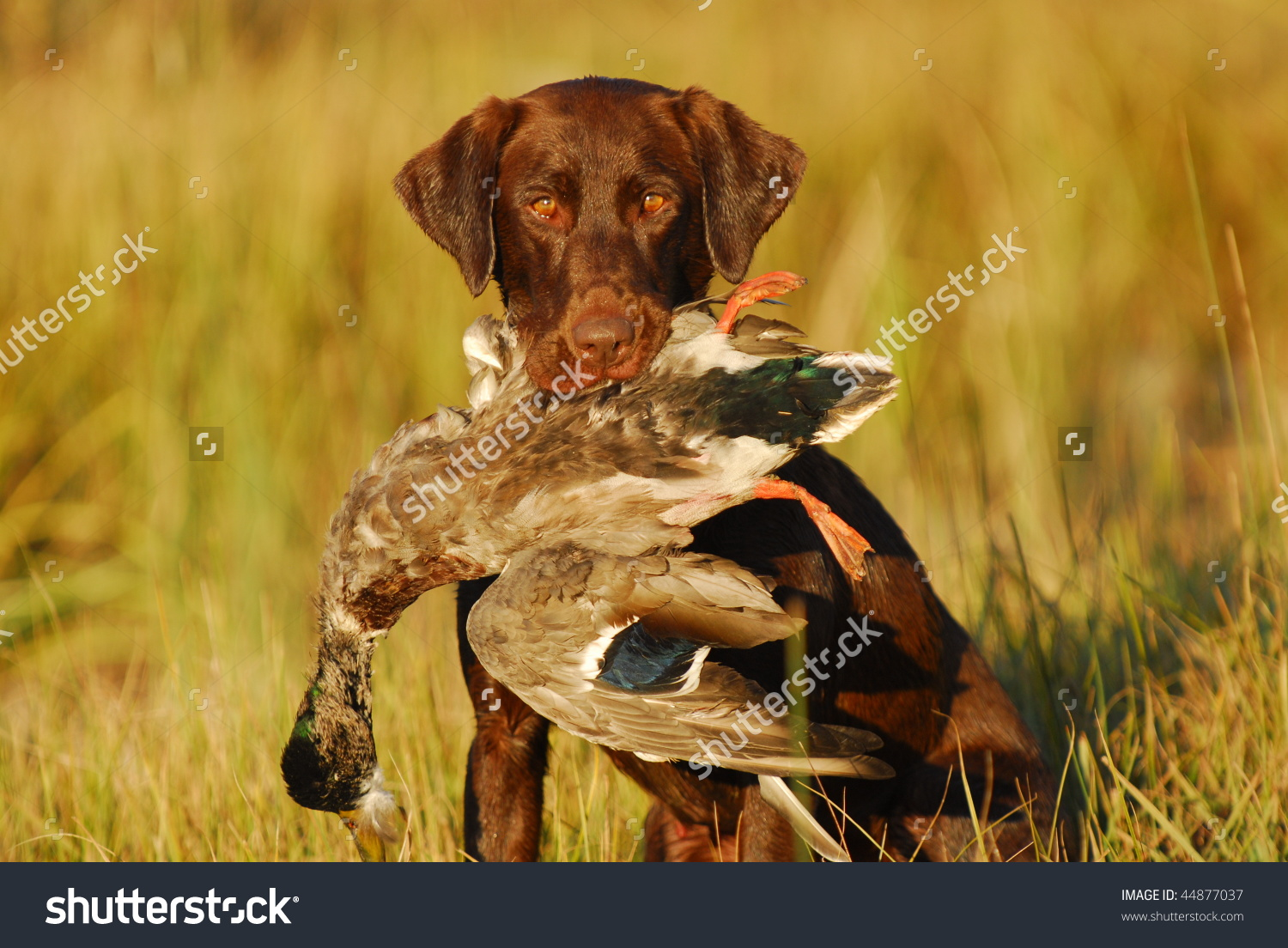 Labrador Hunting Dog Holding Mallard Duck Stock Photo 44877037.