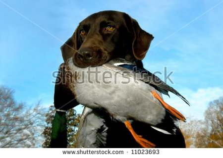 Chocolate Labrador Retriever Holds Dead Mallard Stock Photo.