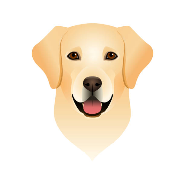 Best Labrador Retriever Illustrations, Royalty.