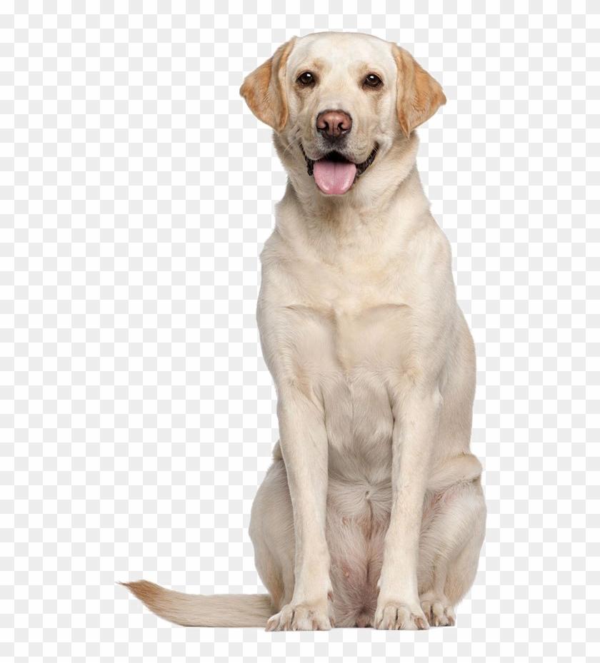 Labrador Retriever Png High.