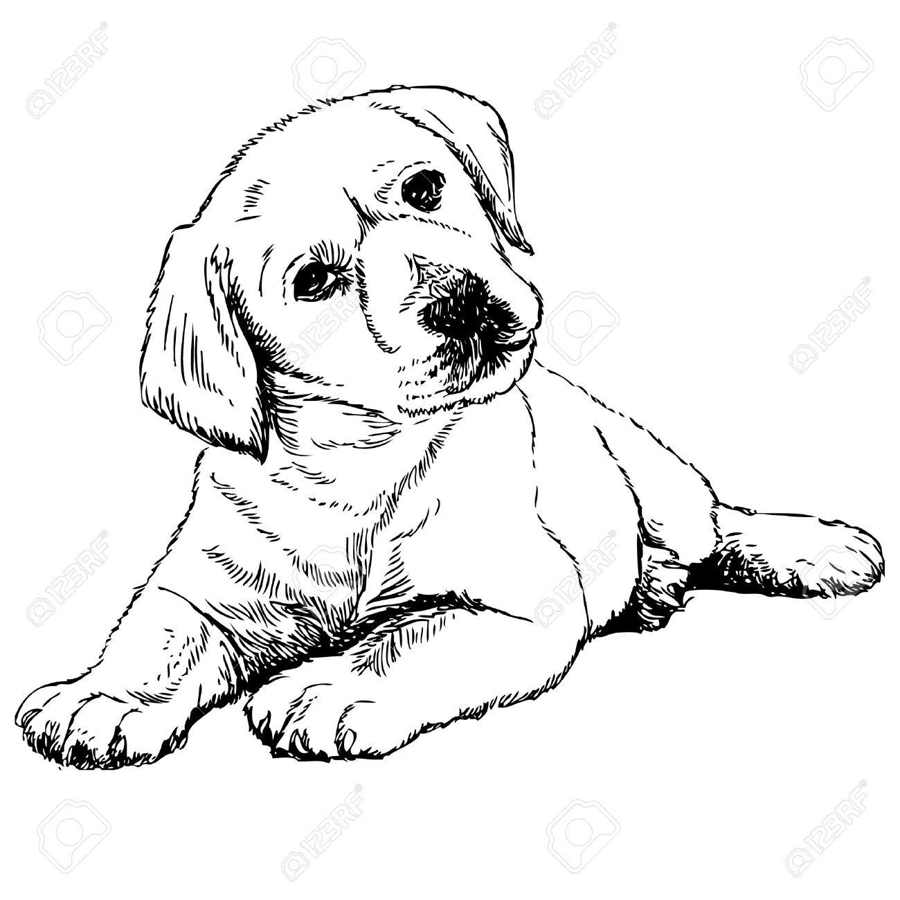 Image of Labrador Retriever puppy hand drawn vector.