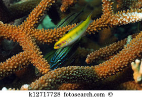 Wrasse Stock Photos and Images. 716 wrasse pictures and royalty.
