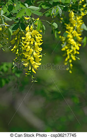 Stock Photo of Laburnum anagyroides yellow flowers hanging in the.