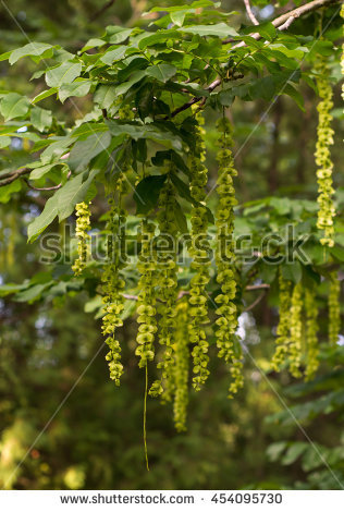 Laburnum Anagyroides Stock Photos, Royalty.