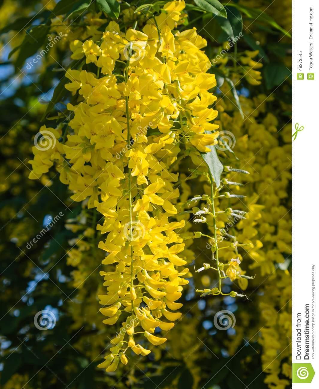 Laburnum Anagyroides Or Golden Rain Plant Stock Photo.