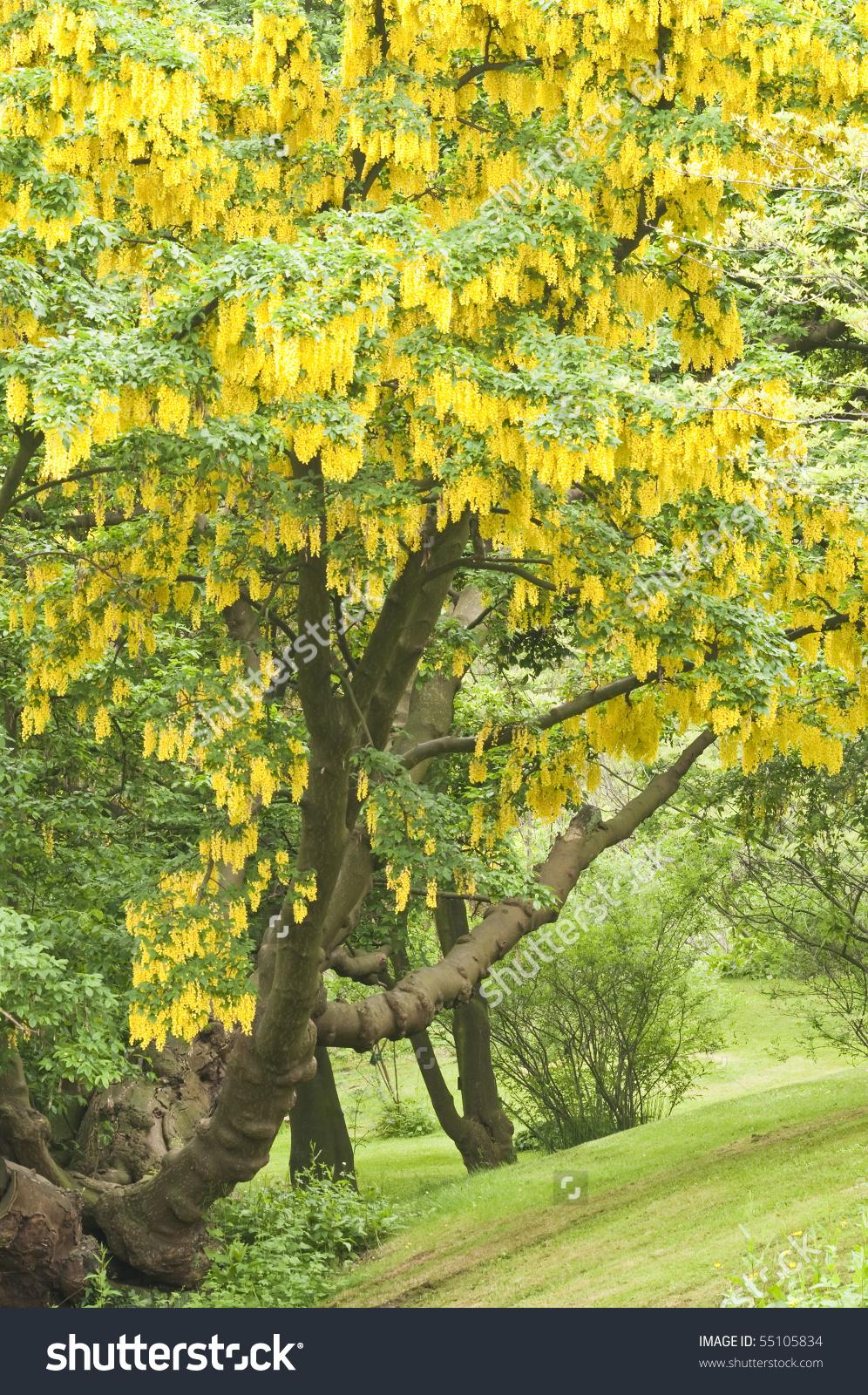 Laburnum Anagyroides, Common Laburnum Tree With Yellow Flowers.