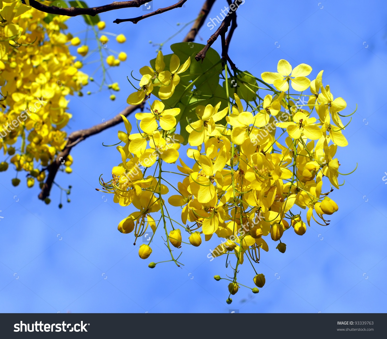 Flowers Golden Rain Tree Laburnum Anagyroides Stock Photo 93339763.