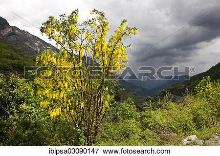 """Picture of """"Common Laburnum, Golden Chain or Golden Rain (Laburnum."""
