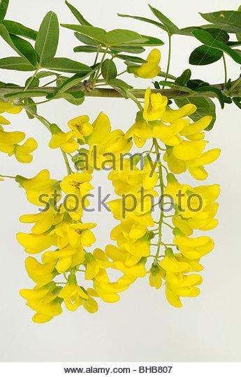 Laburnum Anagyroides Stock Photos & Laburnum Anagyroides Stock.