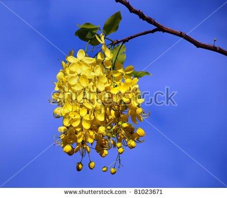 Flowers Of The Golden Rain Tree (Laburnum Anagyroides) Stock Photo.