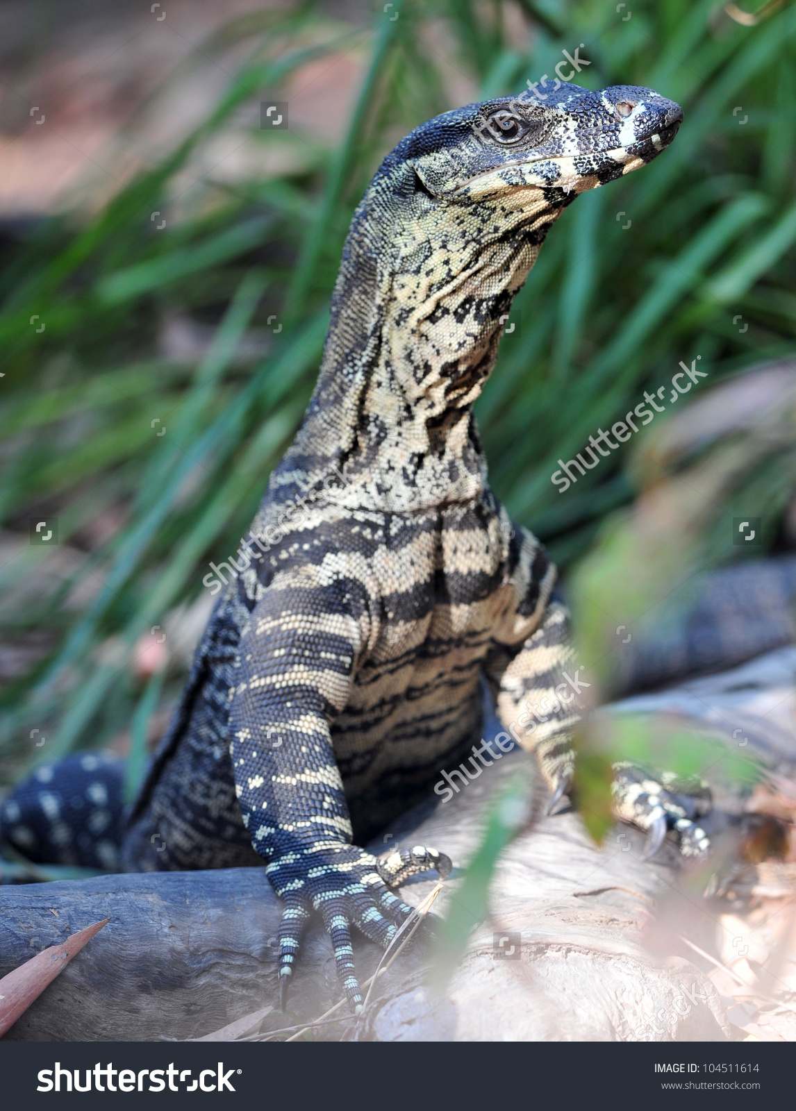 Australian Lace Monitor Goanna Standing On Stock Photo 104511614.