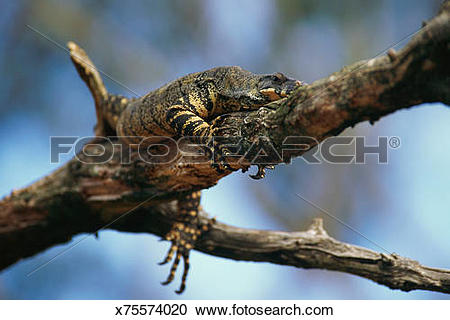Stock Photography of Lace monitor lizard in tree x75574020.
