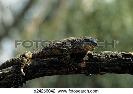 Stock Photo of Lace monitor (Varanus varius) on tree limb.