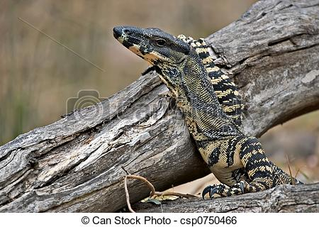 Stock Image of lace monitor with head raised.