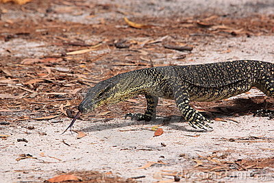 Lace Goanna (Varanus Varius) Or Lace Monitor Stock Photography.