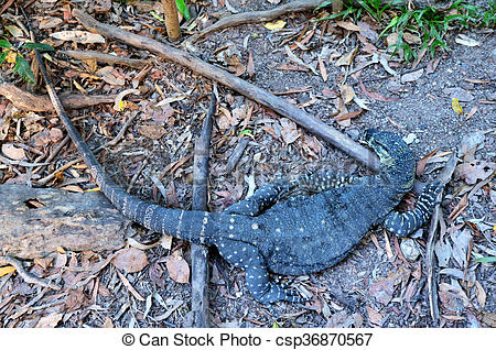 Stock Image of Lace monitor lizard.