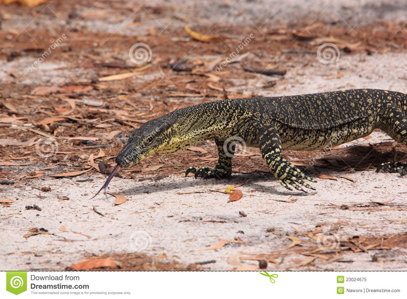 Australian Goanna/Lace Monitor (Varanus Varius) Stock Photo.