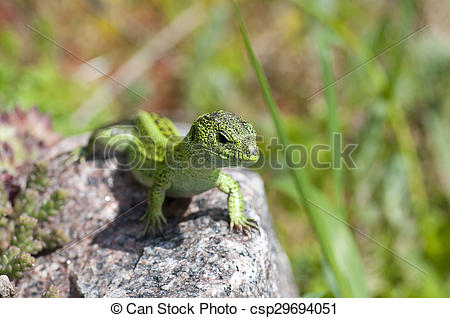 Stock Images of Sand lizard (Lacerta agilis) male during mating.