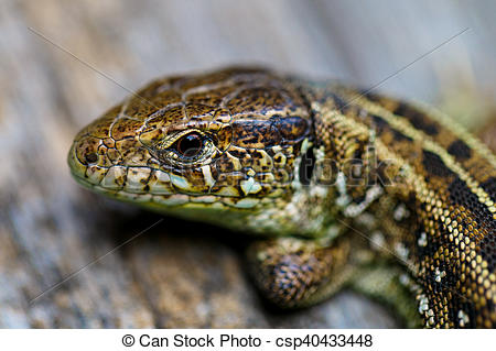 Stock Photo of The brown viviparous lizard Lacerta agilis. Macro.