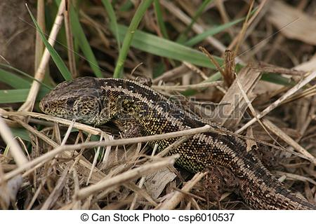 Picture of Sand Lizard (Lacerta agilis).