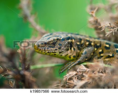 Stock Images of Sand Lizard (Lacerta agilis) k19857566.