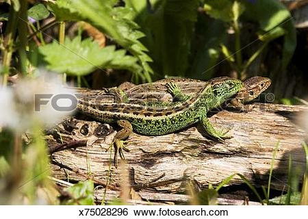 Stock Images of Sand lizards, Lacerta agilis, male and female in.