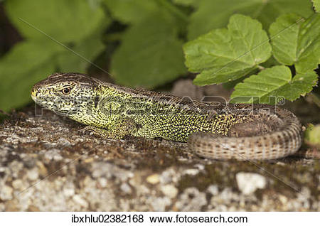 "Pictures of ""Sand lizard (Lacerta agilis), male sunbathing."