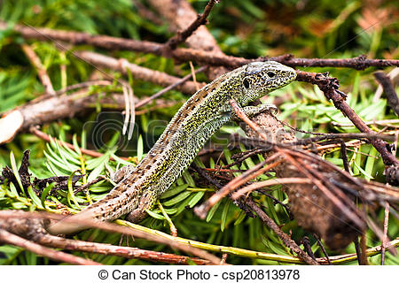 Picture of Sand Lizard.