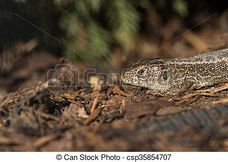 Stock Photography of Head Basking Sand Lizard (Lacerta agilis) in.