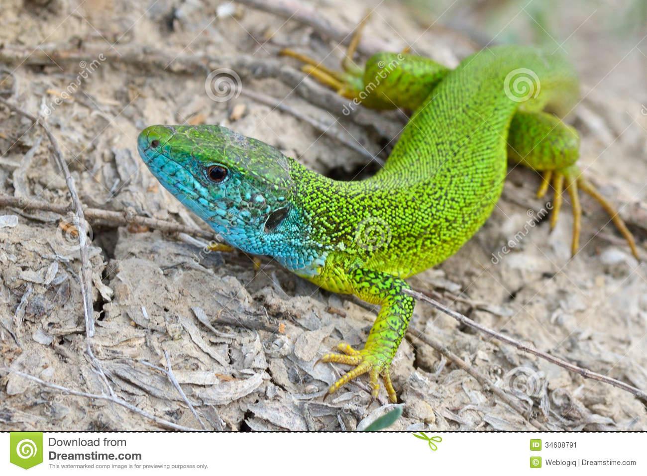 Male Of Green Lizard.
