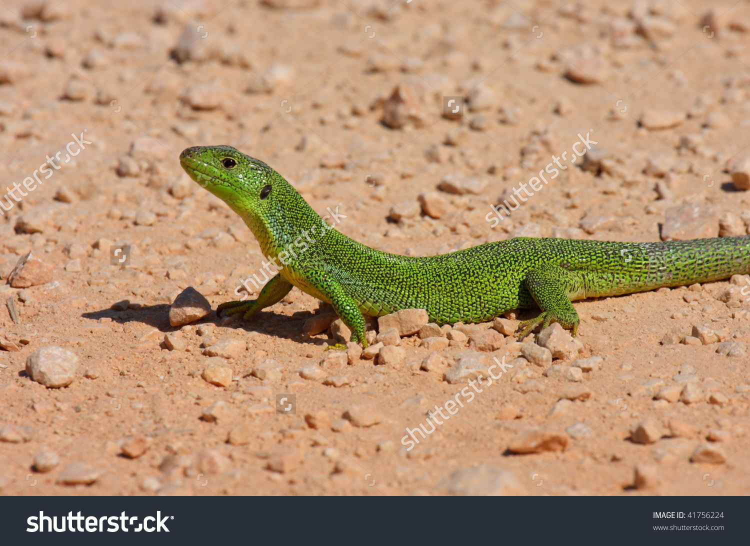 European Green Lizard Lacerta Viridis Stock Photo 41756224.