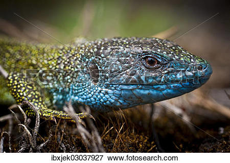 "Picture of ""Eastern Green Lizard (Lacerta viridis), male."