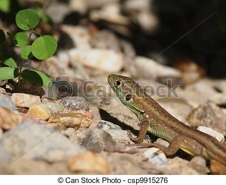 Stock Image of European Green Lizard, juvenile, Lacerta viridis.