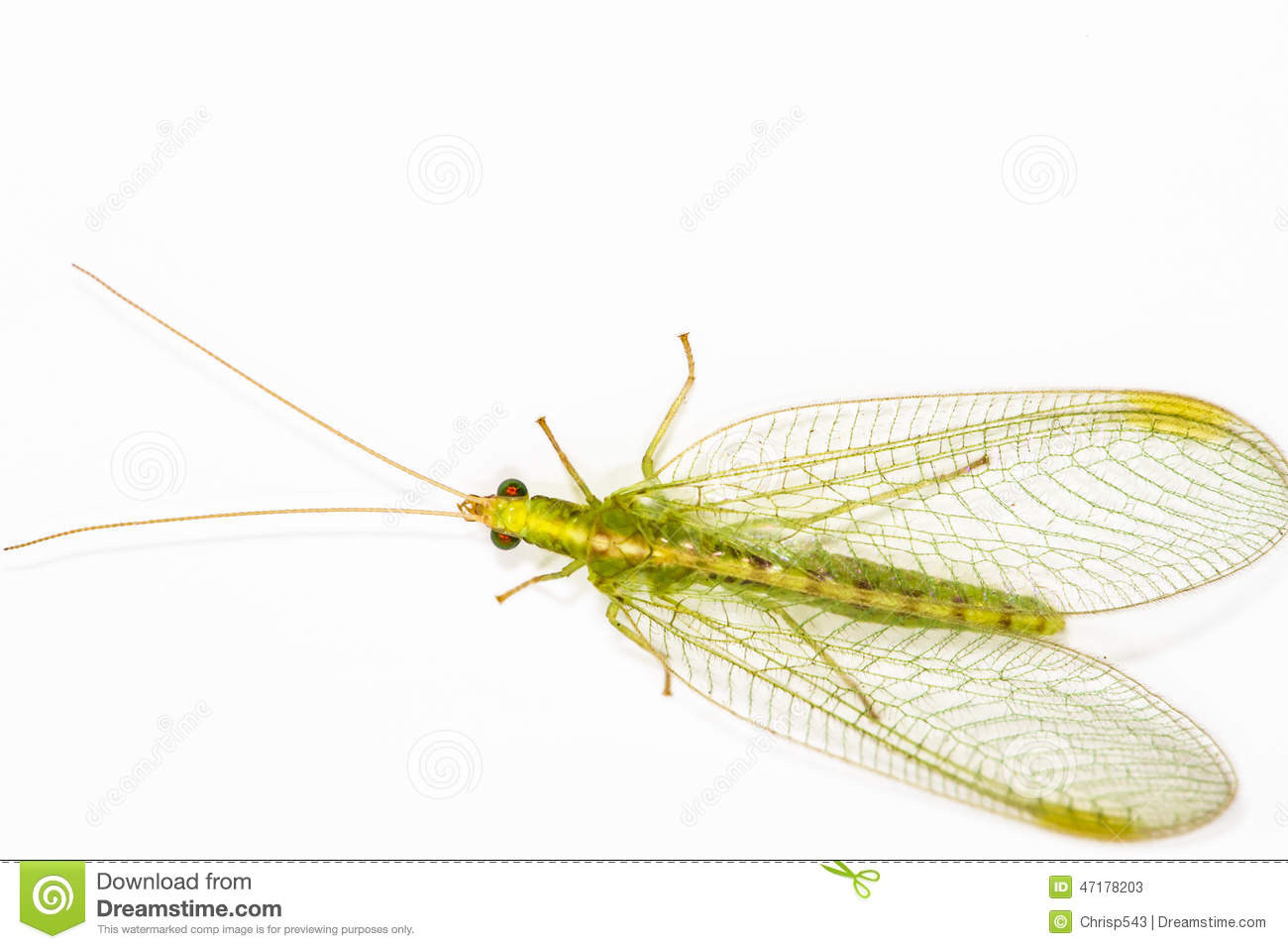 Lacewing Close Up. Stock Photo.