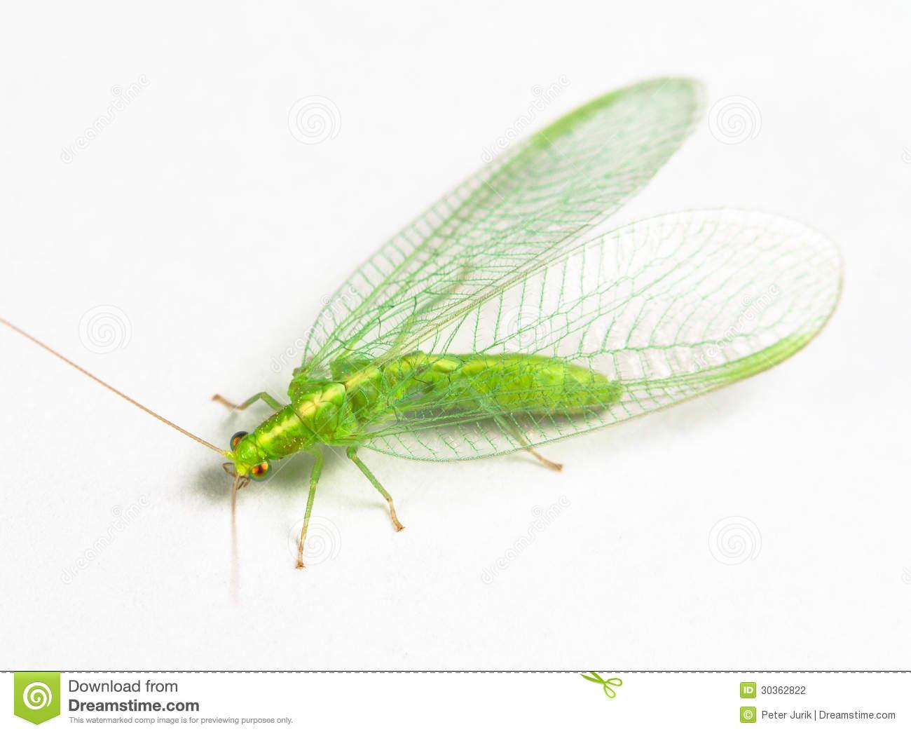 Chrysopidae.