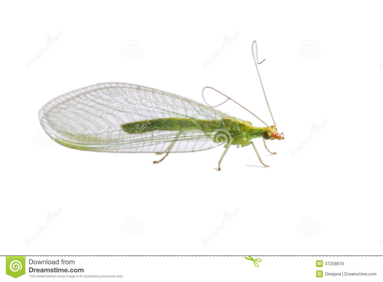 Lacewing Fly Royalty Free Stock Images.