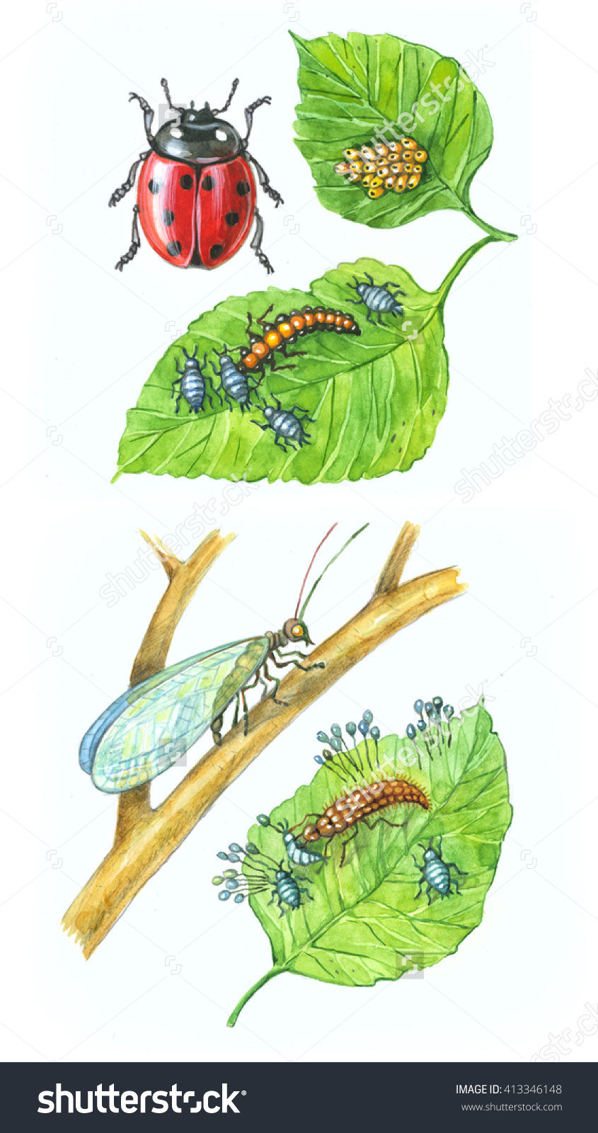 Ladybug. Lacewing On A Branch.Scientific Illustration. The Adult.