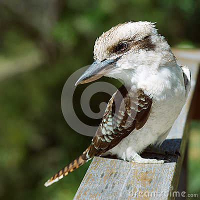 A Young Kookaburra Royalty Free Stock Images.