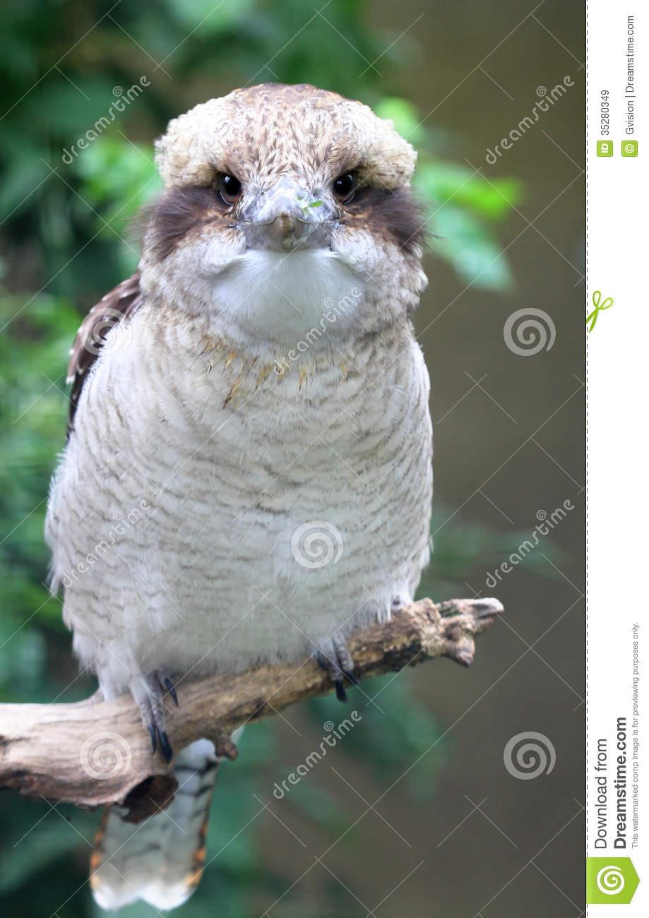 Kookaburra Bird Royalty Free Stock Images.