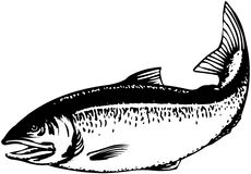Salmon Jumping Stock Illustrations.