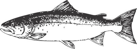 Salmon Stock Illustrations.