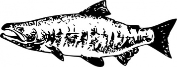 Sockeye Salmon, Vector Graphic.