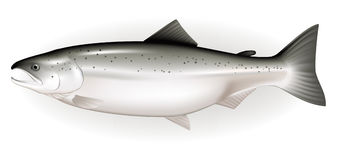 Salmon Stock Illustrations.