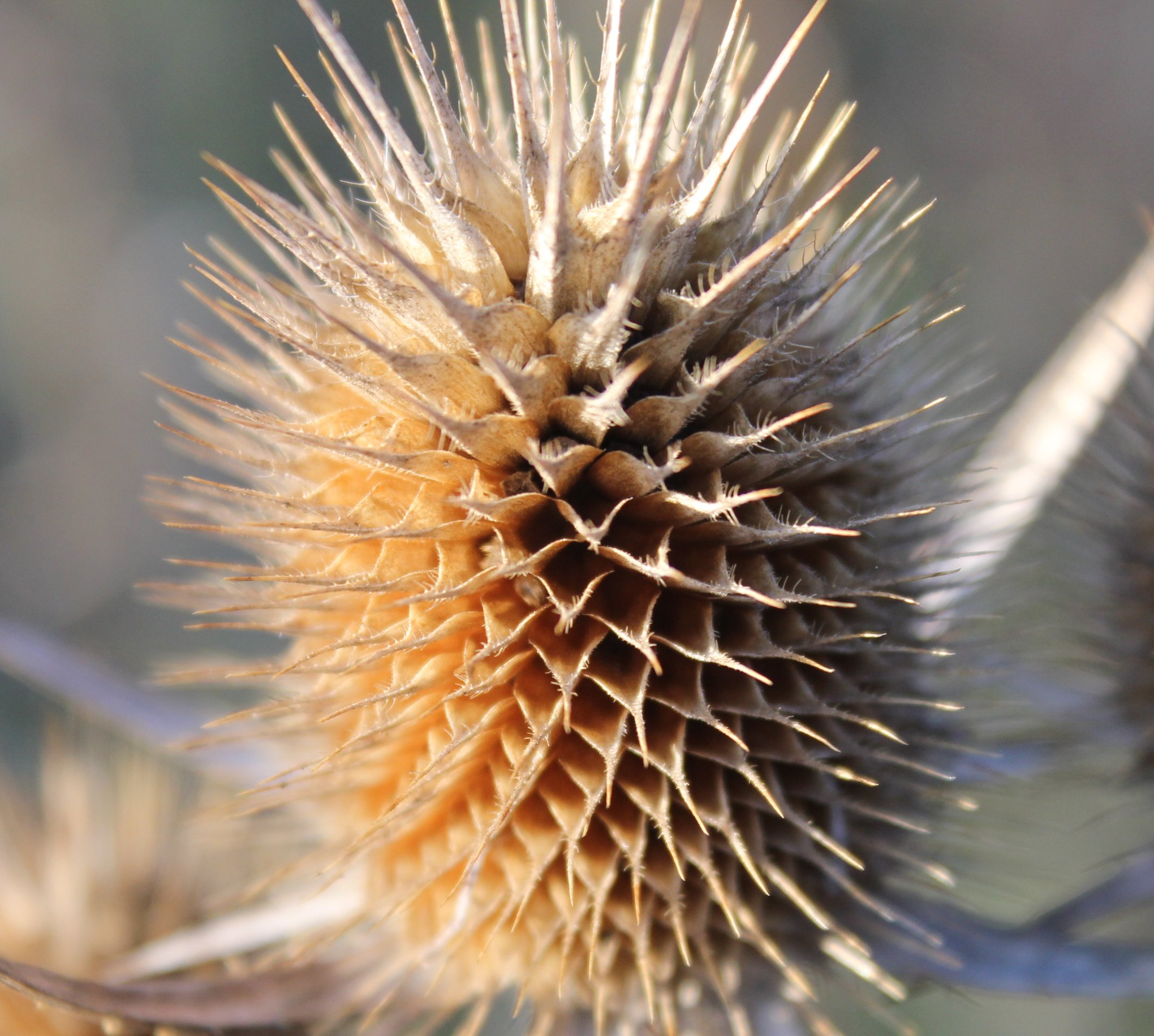 Spiky Field Plant.