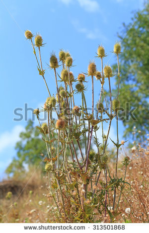 Dipsacus laciniatus Stock Photos, Images, & Pictures.