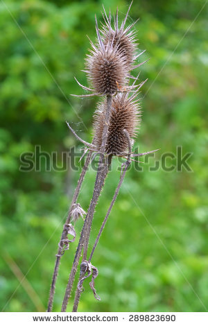 Teasel Stock Photos, Royalty.