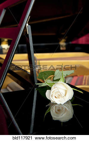 Stock Photography of White rose and its reflection in the.